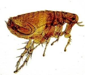 pulce della peste Xenopsilla cheopis