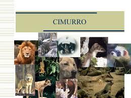 cimurro nei leoni