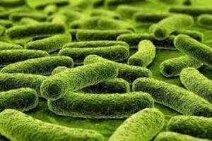 micobatterio della tubercolosi
