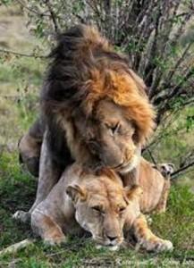 riproduzione leoni